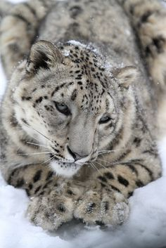 Snow Leopards Love Snow by Mark Dumont on Flickr.