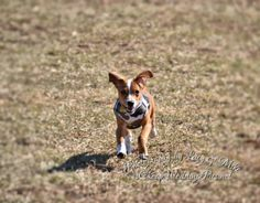 Skippy running at the dog park in Cape Girardeau, MO
