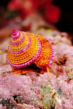 Ring top sea snail (getty Images) on imgfave Underwater Creatures, Underwater Life, Ocean Creatures, Under The Water, Under The Sea, Sea Snail, Snail Shell, Sea Slug, Deep Blue Sea