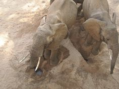 As the drought persists in Samburu Elephants have to walk long distances in search of food and water. Sometimes they have to dig to get water.  [Pic: David Daballen] #Savetheelephants #Worthmorealive #Drought #ivorybelongstoelephants #elephants #elephantmission # elephantsofinstagram #elephantsareawesome #elephantsanctuary #savetheelephants