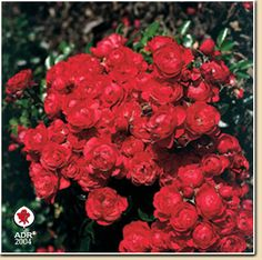 Rose 'Cantario' -60 cm, helfrisk Red Roses, Flowers, War, Plants, Round Round