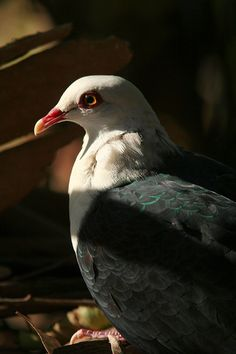 White-headed_Pigeon