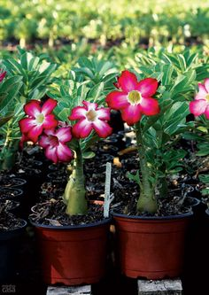 Rosa-do-deserto. A africana Adenium obesum combina com clima quente e seco, condições que incentivam sua floração entre a primavera e o verã...