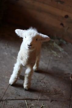 Oh my goodness! Baby lamb...too cute!!
