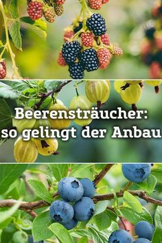 Beerensträucher selbst anbauen und im Sommer richtig pflegen Berry bushes: Here you will find tips on the most popular berries. Whether strawberry, blueberry or jostabeere – with our tips you will soon have a rich harvest. Herb Garden, Vegetable Garden, Garden Plants, Garden Types, Garden Care, Summer Diy, Summer Garden, Balcony Flowers, Plus Populaire