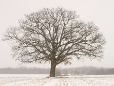 old tree in winter - Google Search