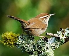 e Bewick's Wren (Thryomanes bewickii) is a wren native to North America. At about 14 cm long, it is grey-brown above, white below, with a long white eyebrow. While similar in appearance to the Carolina Wren, it has a long tail that is tipped in white. Its range is from southern British Columbia, Nebraska, southern Ontario, and southwestern Pennsylvania south to Mexico, Arkansas and the northern Gulf States. The Bewick's Wren does not migrate.