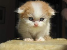 Scottish Fold...just look at that little face!