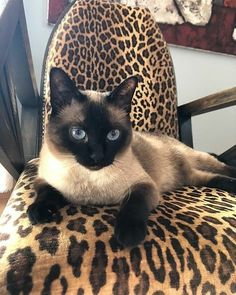 What Games and Exercise Siamese Cat like to do and play? Siamese Cat Breeders, Siamese Cats, Exercise, Play, Games, Animals, Ejercicio, Animales, Siamese Cat