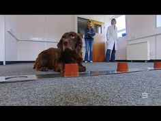 """Dogs That Can Detect Cancer - """"Wonder Dogs"""" - WATCH THE VIDEO.    *** how do dogs detect cancer ***   Dogs That Can Detect Cancer For more of my favourite 60 Minutes segments please visit my playlist at   Video credits to the YouTube channel owner"""