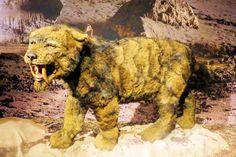 Sabeltandtijgers hadden een machtig lichaam en voorpoten met scherpe klauwen. Van hun grote tanden hadden ze bij het jagen meer last dan profijt. Ze gebruikten deze waarschijnlijk om uiteindelijk de prooi te doden door de halsslagader en de luchtpijp door te snijden. Met deze karakteristieke tanden maakten de mannetjes ook indruk op hun rivalen.