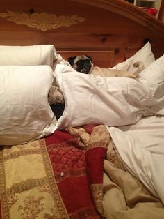But while we're not watching… | Community Post: Pugs Are Planning To Take Over The World