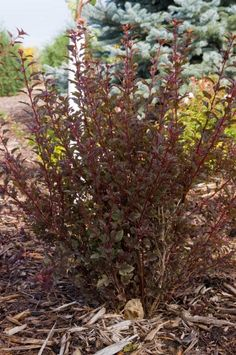 """Ninebark, Little Devil (Physocarpus opulifolius 'Donna May') This """"cute little devil"""" will add deep burgundy foliage color to your garden in a compact, easy to grow and maintain shrub, Bailey Nurseries 3-4' x 3-4'"""