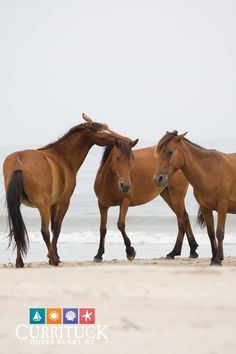 When you are ready, we'll be here to welcome you. Here's everything you need to know for a safe stay at our beaches in Corolla, North Carolina. Horses And Dogs, Wild Horses, Beautiful Horses, Animals Beautiful, Funny Animal Pictures, Cool Pictures, North Carolina, Baby Animals, Cute Animals