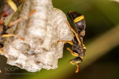 Tree Brown Paper Wasp (Ropalidia socialistica) by trefore