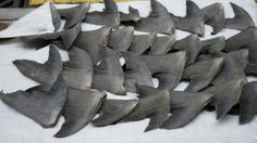 China - the biggest importer and consumer of sharks - are now banning shark fin soup.