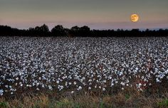 Moonrise over a cottonfield, Terrell County, Georgia by steve_rob, via Flickr