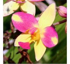 Ground Orchid - Spathoglotis Plicata Yellow mix300