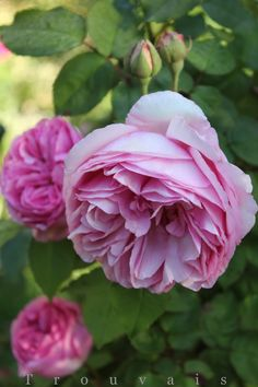 Trouvais old roses