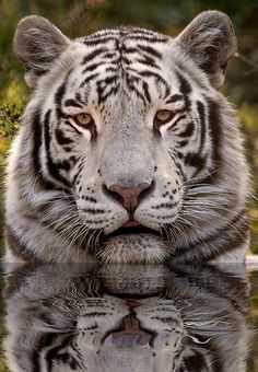 ~~White Tiger in Water  by sunspotimages~~