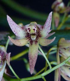 Dendrobium nugentii x Tweetie