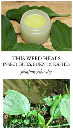 This Weed Heals Insect Bites, Burns and Rashes – Plantain Salve DIY Holistic Remedies, Natural Health Remedies, Herbal Remedies, Healing Herbs, Medicinal Plants, Be Natural, Natural Healing, Natural Medicine, Herbal Medicine