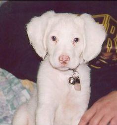 Brittany spaniel (albino)