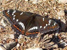 Haapaperhonen, Limenitis populi - Perhoset - LuontoPortti Butterfly Painting, Butterfly Art, Moth, Turtle, Scenery, Nature, Garden, Beauty, Butterflies