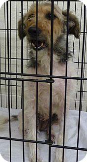 Zanesville, OH - Rat Terrier Mix. Meet 42944 Daisy sponsored $65   tags, a dog for adoption. http://www.adoptapet.com/pet/13562805-zanesville-ohio-rat-terrier-mix