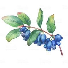 Branch of honeysuckle plant (Lonicera caerulea) with blue berries and leaves. Fresh honeysuckle fruits (Haskap, Honeyberry). Watercolor hand drawn painting illustration isolated on white background. royalty-free branch of honeysuckle plant watercolor hand drawn painting illustration isolated on white background stock vector art & more images of arrowwood