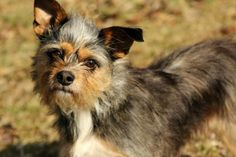 N WEST VIRGINIA FOSTER Nina, a yorkie mix, is approximately 3-4 years old and 14 lbs. Nina is a very nervous girl, but she's a good little companion once she gets comfortable with people and her surroundings. She prefers to be near her humans, even sleeping in the big bed under the covers