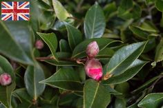 British pink camellia at New Covent Garden Flower Market - February 2016