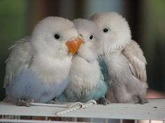 Budgie Research, SD, CA. : Photo