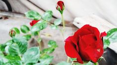 flower, petal, red, flower head, freshness, fragility, close-up, focus on foreground, single flower, plant, growth, beauty in nature, blooming, rose - flower, drop, nature, wet, in bloom, water, pollen