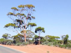 Gums in the Goldfields Woodlands