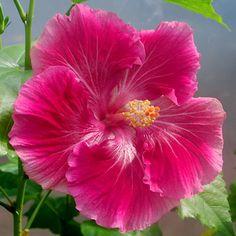 Hibiscus 'Jolie'