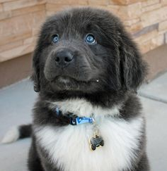 Good morning! My name is Gandalf the Grey and I am a ten week old Newfoundland puppy. Some of my favorite things to do include playing with my big brother and sister, chasing the kitty cats, chewing on everything I can find and taking naps with my mommy and daddy!