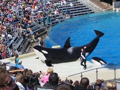"""SeaWorld has announced a change in its killer whale show in favor of an educational """"orca experience"""" after years of public outcry and financial losses. Thank them for making orca health and safety a priority. Orcas, Peta, Parc A Theme, Seaworld Orlando, Killer Whales, Sea World, Under The Sea, Dolphins, Mammals"""