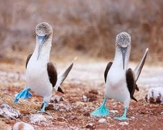 Blue-footed boobies perform mating dance