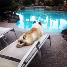 ❤️❤️ perfect vacation #english #bulldog #englishbulldog #bulldogs #breed #dogs #pets #animals #dog #canine #pooch #bully #doggy #vacation #pool