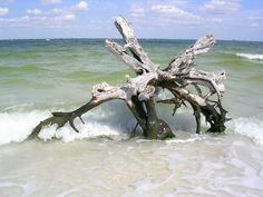 driftwood...