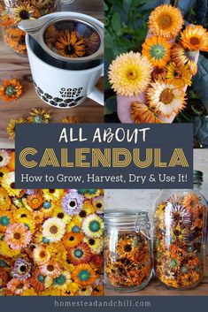 All About Calendula: How to Grow Harvest Dry & Use Calendula Flowers Homestead and Chill Herbal Tea herbal tea garden Healing Herbs, Medicinal Plants, Be Natural, Natural Healing, Calendula Tea, Vegetable Garden Design, Beautiful Flowers Garden, Edible Flowers, Dry Flowers