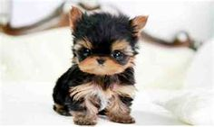 How cute is this Yorkie puppy?