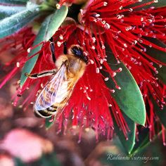 Honey bee, busy at work. Bees and nature!
