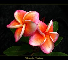 Thailand Flowers - The Plumeria Beautiful Thailand by mad plumerian, via Flickr