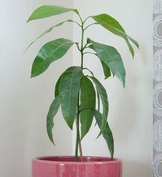 Faire germer un noyau de mangue
