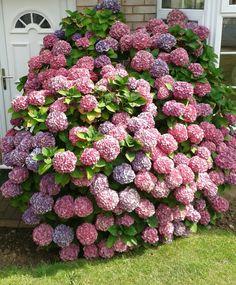 Hydrangea Hortensia Hydrangea, Hydrangea Garden, Hydrangea Flower, Hydrangeas, Amazing Flowers, Pink Flowers, Beautiful Flowers, Love Garden, Dream Garden