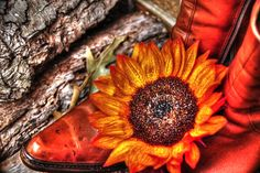 """Fine Art Photography - High Dynamic Range (HDR) Photograph """"Cowgirls and Boots, Part 2"""" (Still Life, Floral, Flower, Sunflower, Rustic, Orange, Yellow, Bright Color)"""