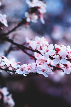 Wonderland #cherryblossom // Nature Photography