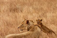 Leijona, Vauva, Eläinten, Perhe